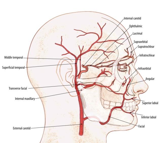 Nasal Vascular Anatomy